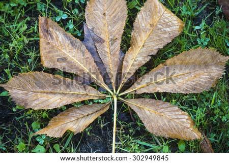 Aesculus hippocastanum leaf - stock photo
