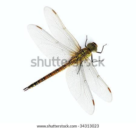 Aeshna affinis (female) - stock photo