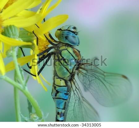 Aeshna affinis (male) - stock photo