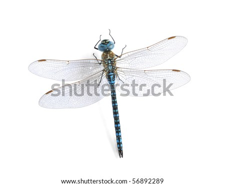 Aeshna affinis (male) - stock photo