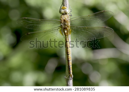 Aeshna isoceles, male - stock photo
