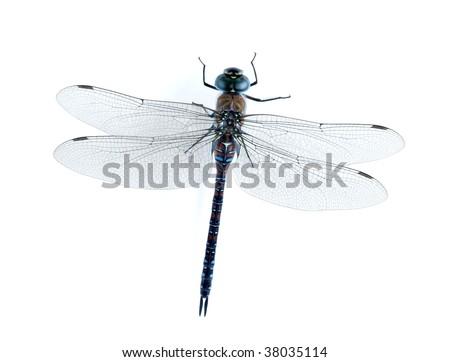 Aeshna mixta (female) - stock photo