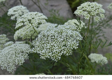 Aethusa cynapium poisonous plant white flowers stock photo safe to aethusa cynapium poisonous plant with white flowers mightylinksfo