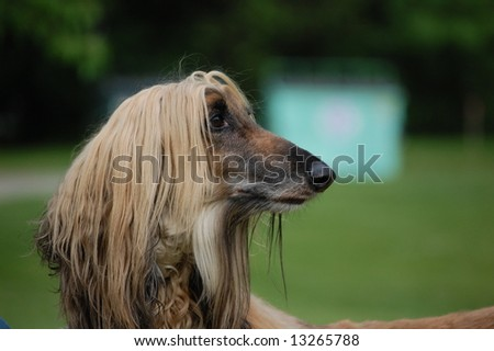 Afghan Hound - stock photo