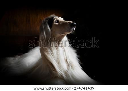 afghan hound portrait on dark background - stock photo