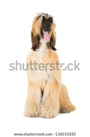 Afghan Hound (Sage Balochi, Ogar Afgan, Eastern Greyhound, Persian Greyhound) - stock photo