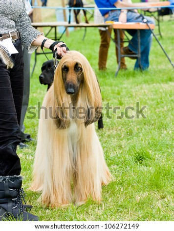 Afghan hound standing  proud  waiting to be judged  at dog show.