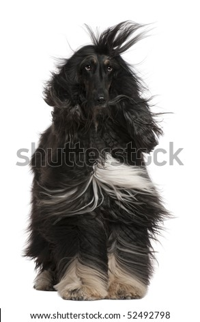 Afghan Hound with his hair in the wind, 4 years old, sitting in front of white background
