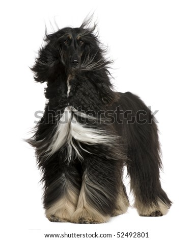 Afghan Hound with his hair in the wind, 4 years old, standing in front of white background - stock photo