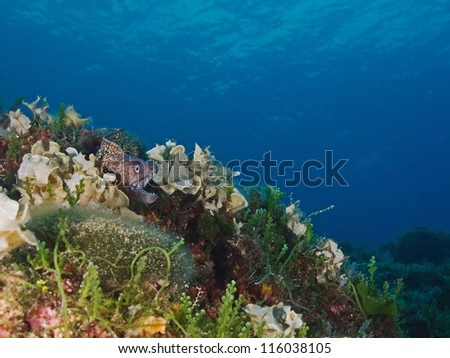 Afloat mediterranean moray (Muraena helena) - stock photo