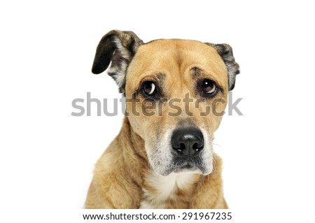 afraid mixed breed dog in a white background - stock photo