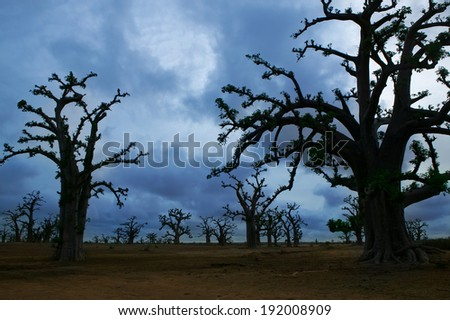 Africa Baobab trees in a cloudy gray day - stock photo