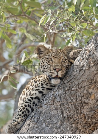 Africa  Botswana leopard in a tree. - stock photo