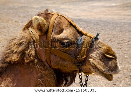 africa brown dromedary bite in the volcanic timanfaya lanzarote spain  - stock photo