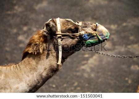 africa brown dromedary bite in the volcanic timanfaya lanzarote spain  - stock photo