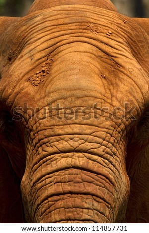 Africa elephant coated body with red mud for prevent body and skin from sunlight