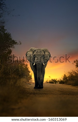 africa elephant walking in a safari sunset  - stock photo