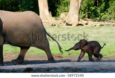 Africa. Forest Elephant.The small elephant calf runs for mum, trying to seize its tail - stock photo