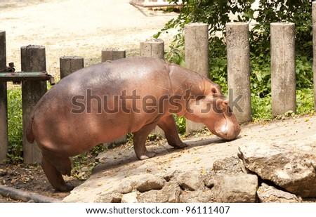 Africa hippo - stock photo