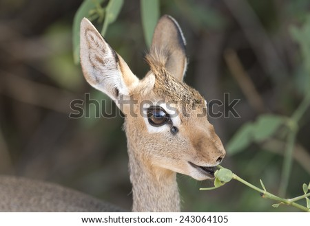africa kenya Samburu game reserve a Dik Dik feeding - stock photo