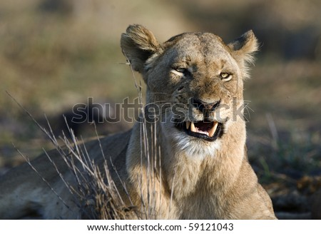 Africa.Kenya./The lioness is angry.Has woken up with bad mood.