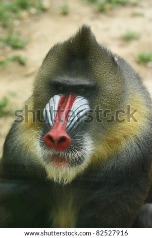 Africa mandrill - stock photo