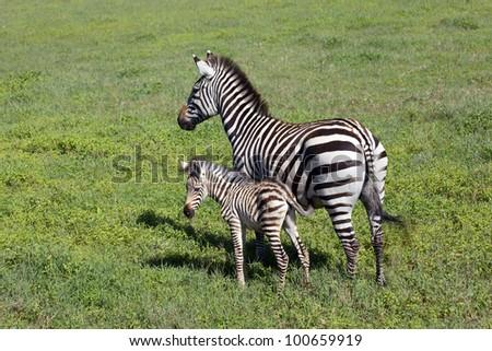 africa, masai mara/zebras/ - stock photo
