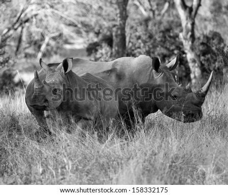 Africa's Sacred Rhinos - stock photo