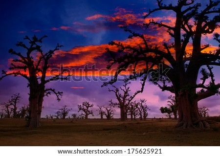 Africa sunset in Baobab trees colorful sky [photo illustration] - stock photo