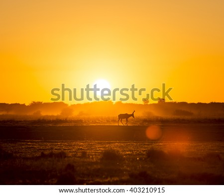 Africa sunset landscape with silhouetted Impala walking on the dusty ground in Botswana, Africa - stock photo