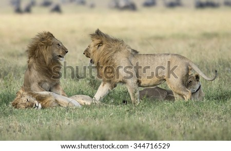 Africa, Tanzania Serengeti National Park,  lions. - stock photo