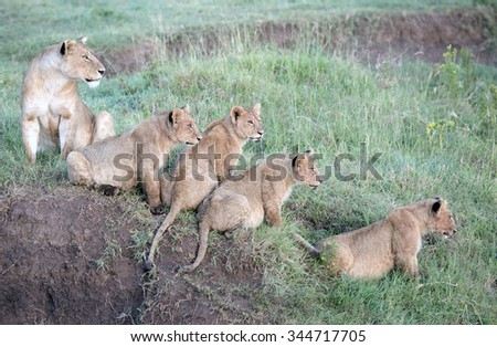 Africa, Tanzania Serengeti National Park, Ngorongoro crater area, lions with cubs - stock photo