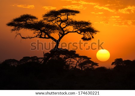 African Acacia tree in the last daylight, Amboseli National Park, Kenya. - stock photo