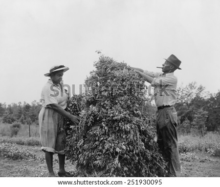 African American couple shaking and stacking peanuts in Sumter County, Georgia. They volunteered in the 'peanut shaking holiday' working to save the wartime oil crop. Ca. 1943. World War 2. - stock photo