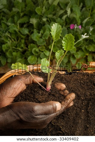 African American Gardener Planting New Plant in Basket Filled with Soil - stock photo
