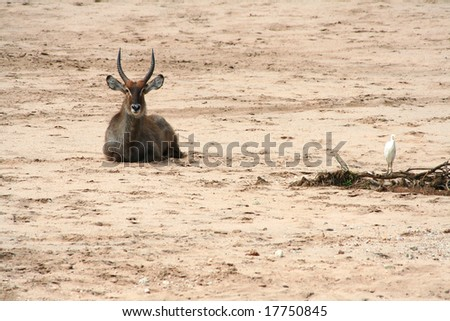 african antelope - stock photo