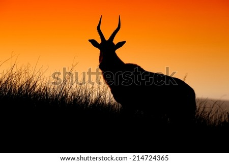 African antelope silhouetted against the orange sky of sunset - stock photo