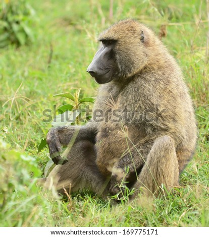 African baboon monkey, Tanzania  - stock photo
