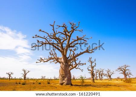 African baobab tree - stock photo