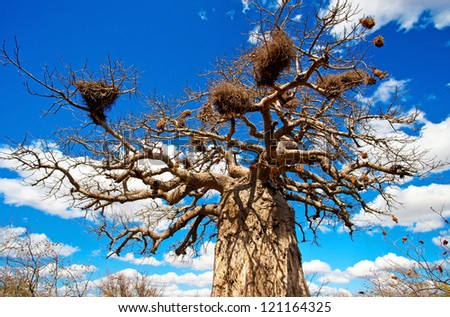 African baobab tree in Kruger National Park, South Africa - stock photo