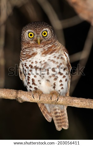 African barred owlet (Glaucidium capense) perched on a branch, South Africa - stock photo