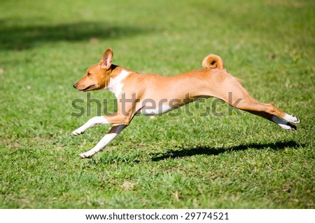 African basenji running in the park - stock photo