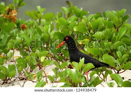 African black Oystercatcher on beach - stock photo