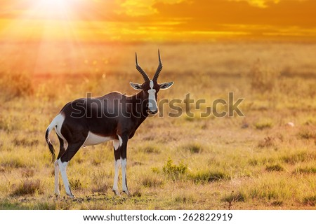 african bontebok antelope grazing on the dry savannah grassland with the setting yellow sunlight - stock photo
