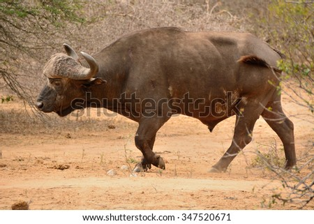 African buffalo bull moving through the bush to a waterhole