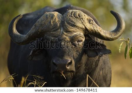African buffalo bull, South Africa - stock photo