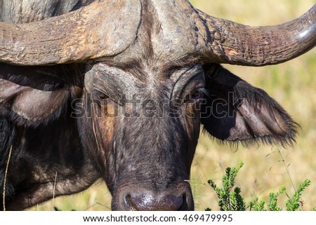 african buffalo close up of face and horns