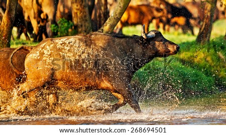 African buffalo crossing a river in the Lake Nakuru National Park - Kenya - stock photo