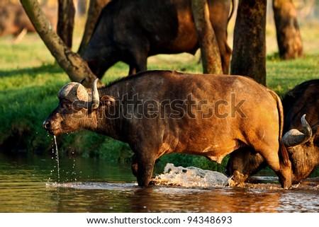 African buffalo crossing a river in the Lake Nakuru National Park - Kenya - stock photo