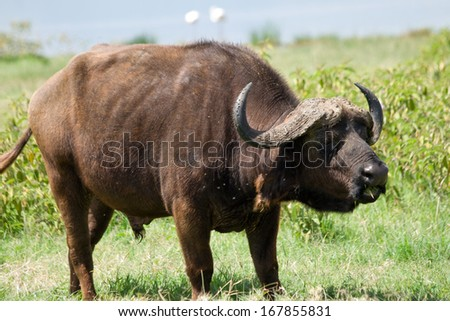 African buffalo grazing at Lake Nakuru National Park - stock photo